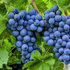 Купим виноград крупным оптом